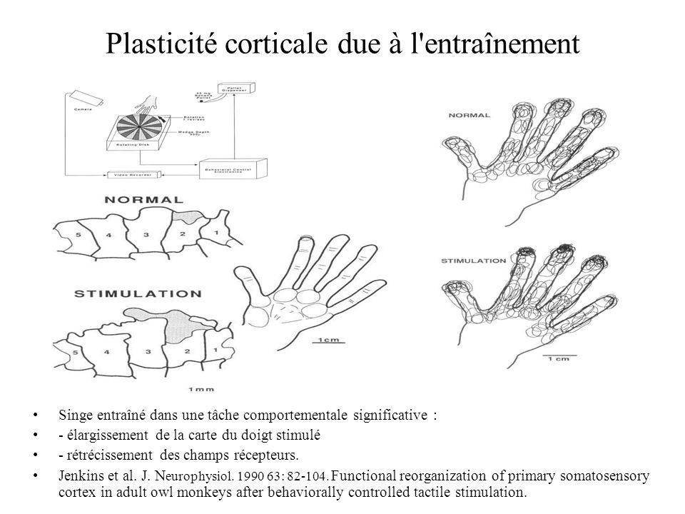 Plasticité corticale due à l entraînement