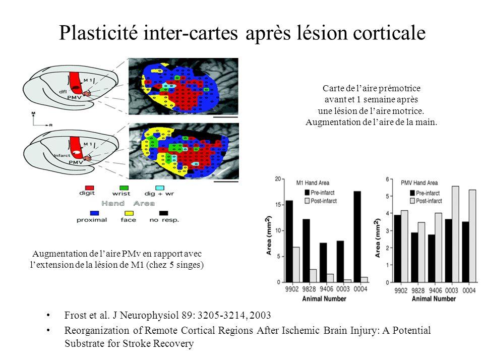 Plasticité inter-cartes après lésion corticale