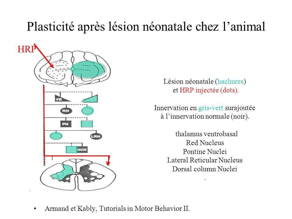 Plasticité après lésion néonatale chez l'animal