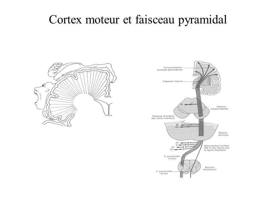 Cortex moteur et faisceau pyramidal
