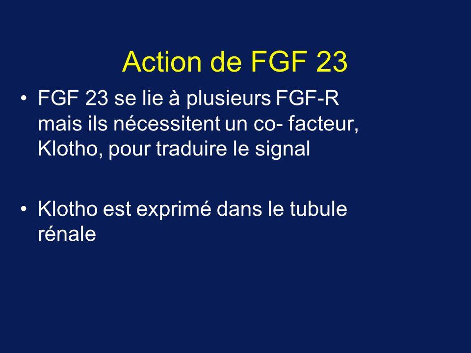 Action de FGF 23 FGF 23 se lie à plusieurs FGF-R mais ils nécessitent un co- facteur, Klotho, pour traduire le signal.