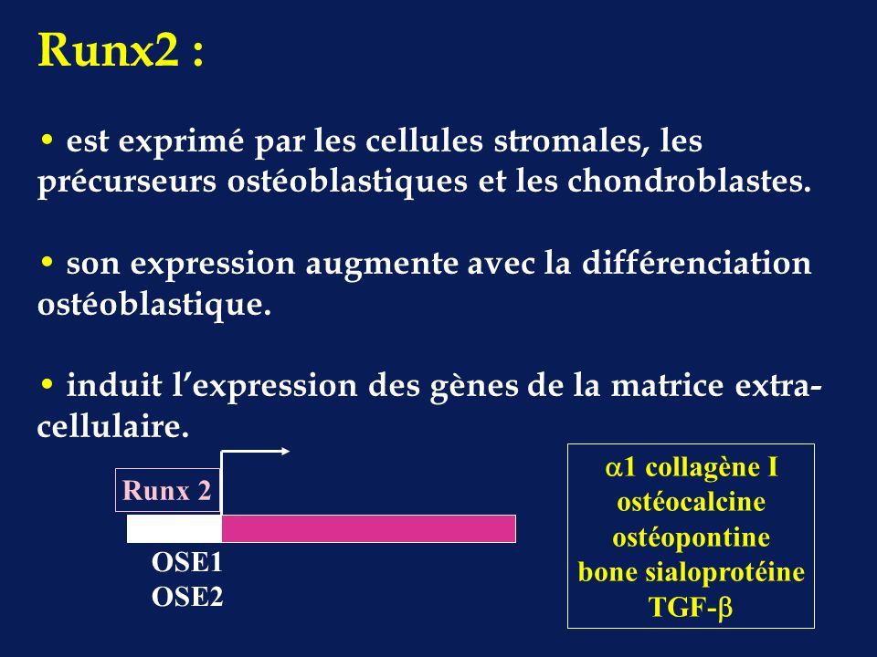 Runx2 : est exprimé par les cellules stromales, les précurseurs ostéoblastiques et les chondroblastes.
