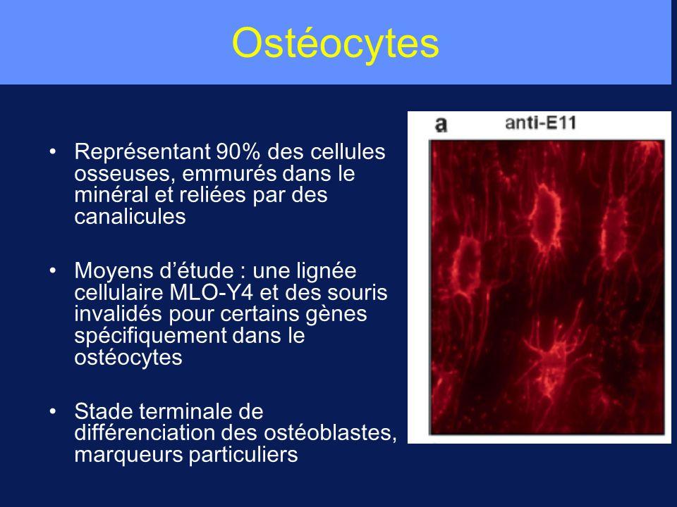 Ostéocytes Représentant 90% des cellules osseuses, emmurés dans le minéral et reliées par des canalicules.