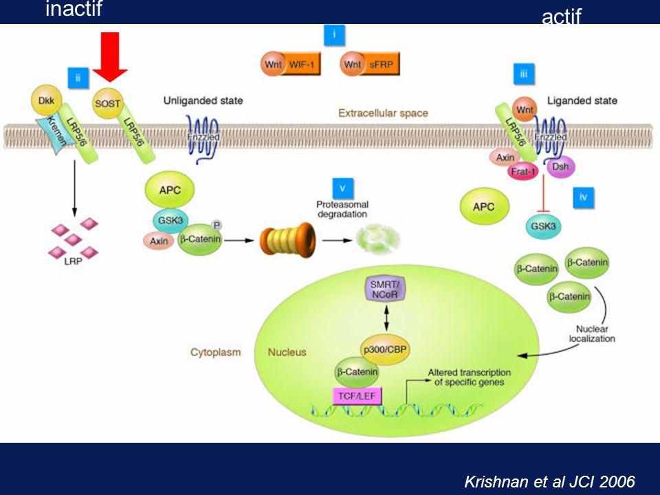 inactif actif Krishnan et al JCI 2006