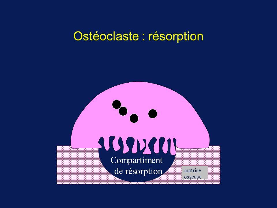 Ostéoclaste : résorption
