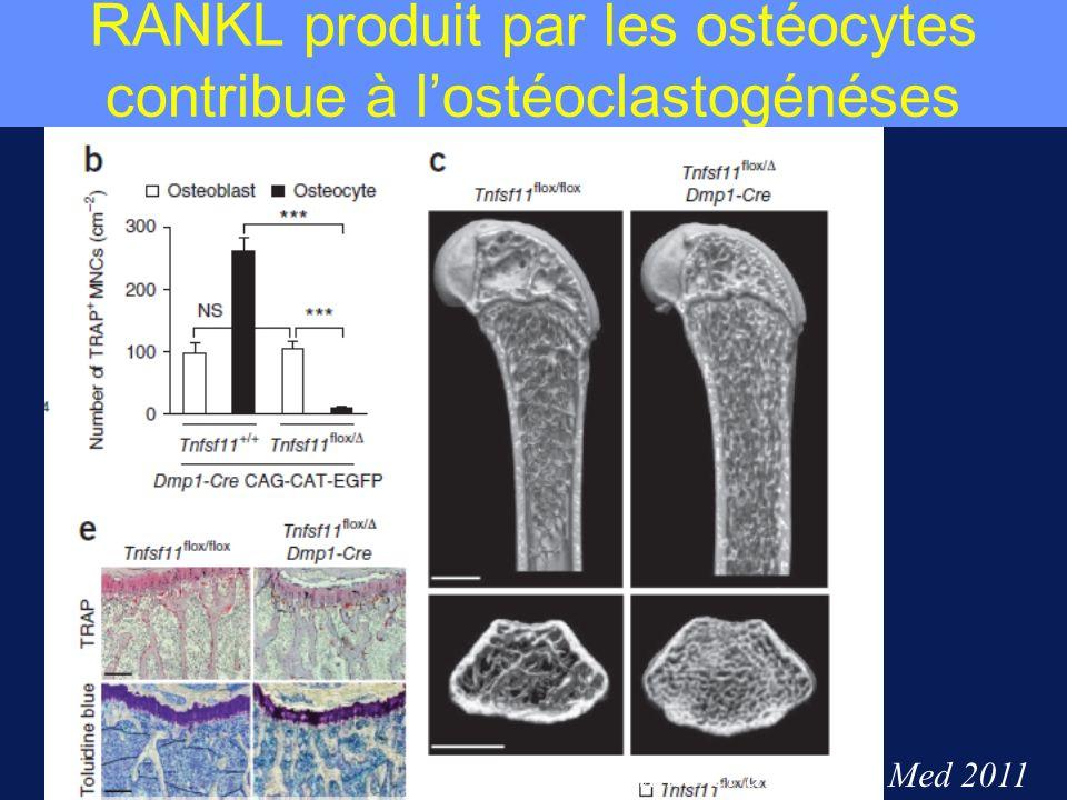 RANKL produit par les ostéocytes contribue à l'ostéoclastogénéses