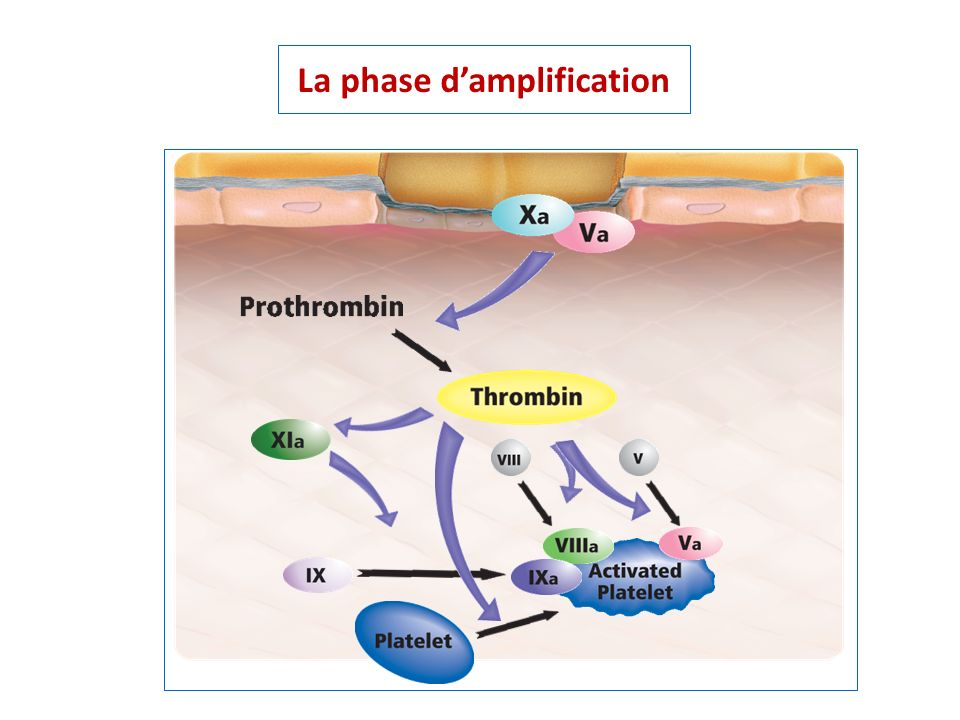 La phase d'amplification