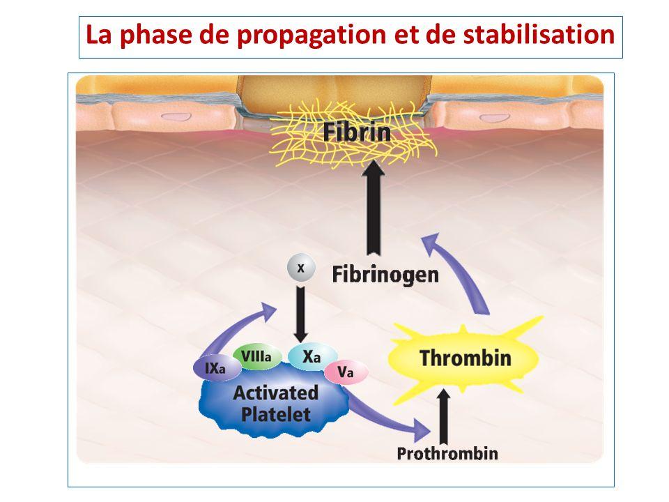 La phase de propagation et de stabilisation