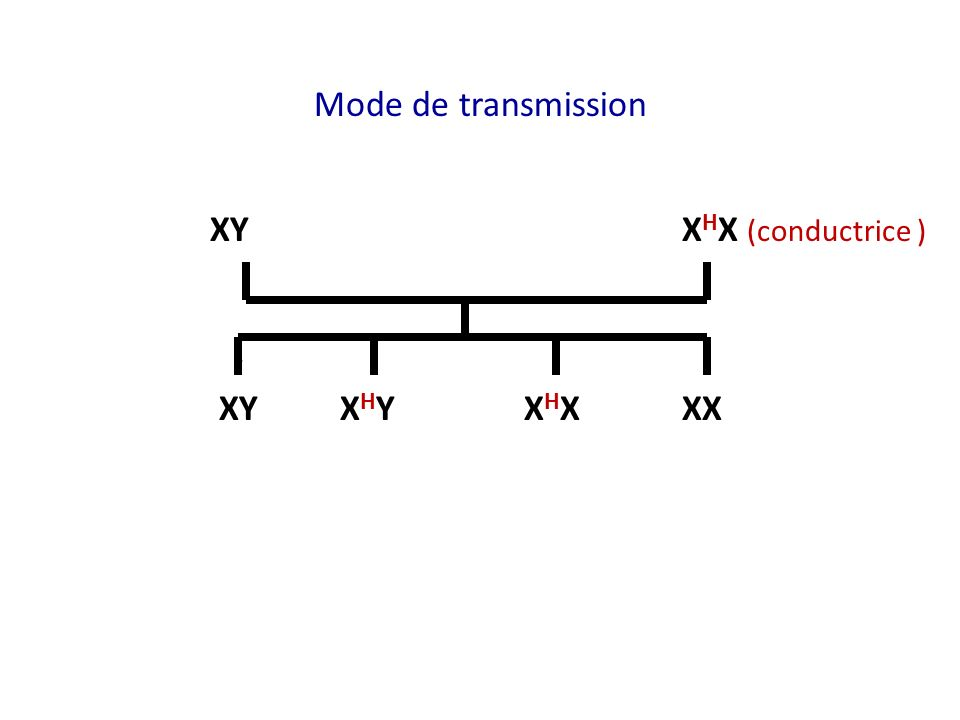 Mode de transmission XY XHX (conductrice ) XY XHY XHX XX