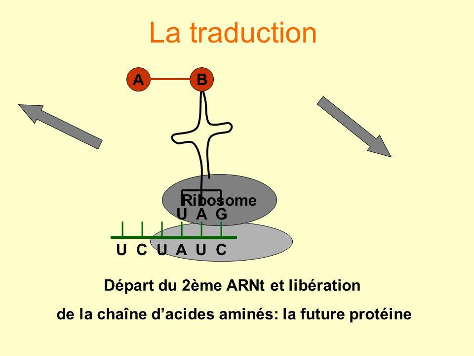 La traduction U C U A U C U A G B A Départ du 2ème ARNt et libération