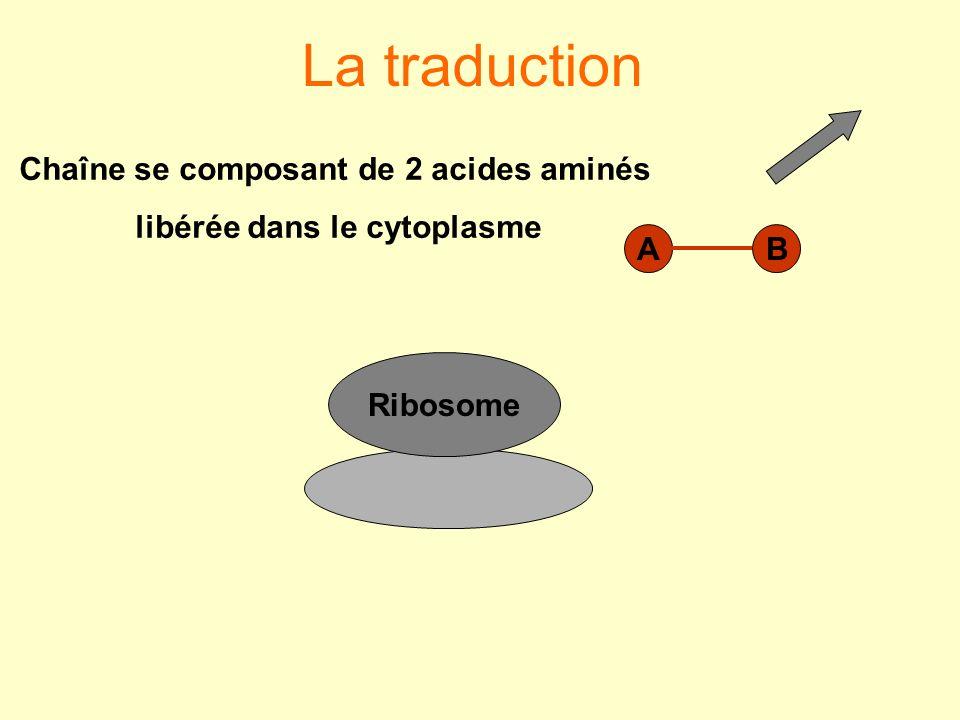 Chaîne se composant de 2 acides aminés libérée dans le cytoplasme