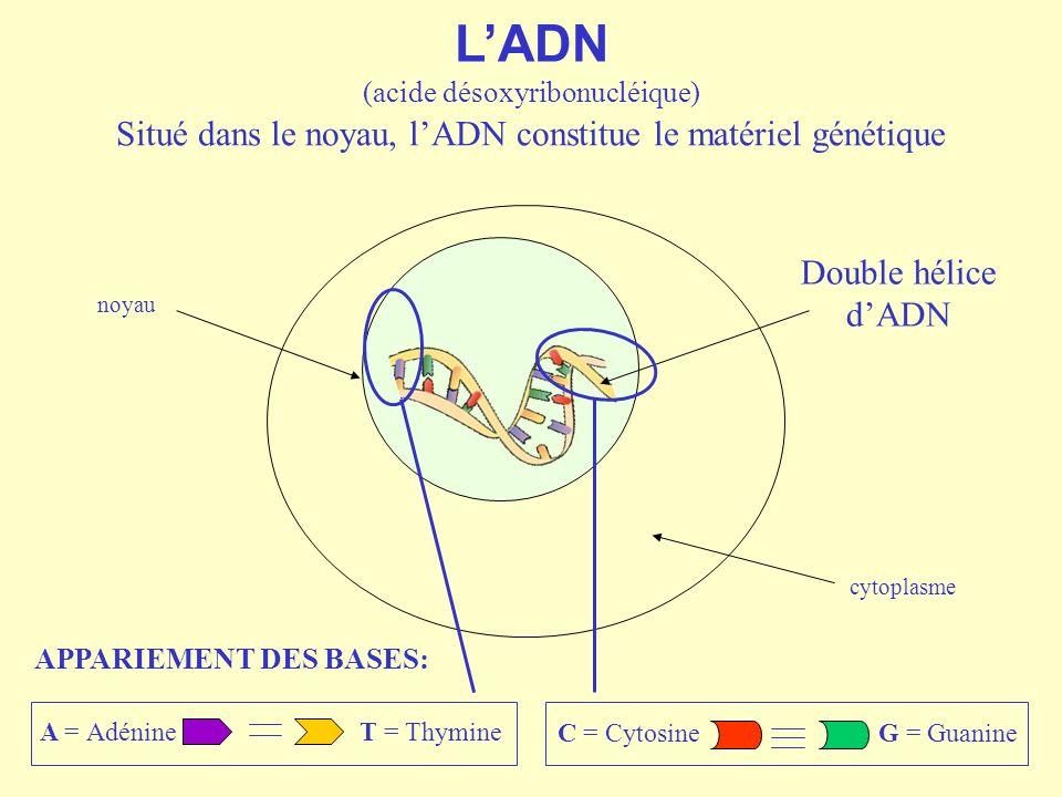 L'ADN Situé dans le noyau, l'ADN constitue le matériel génétique