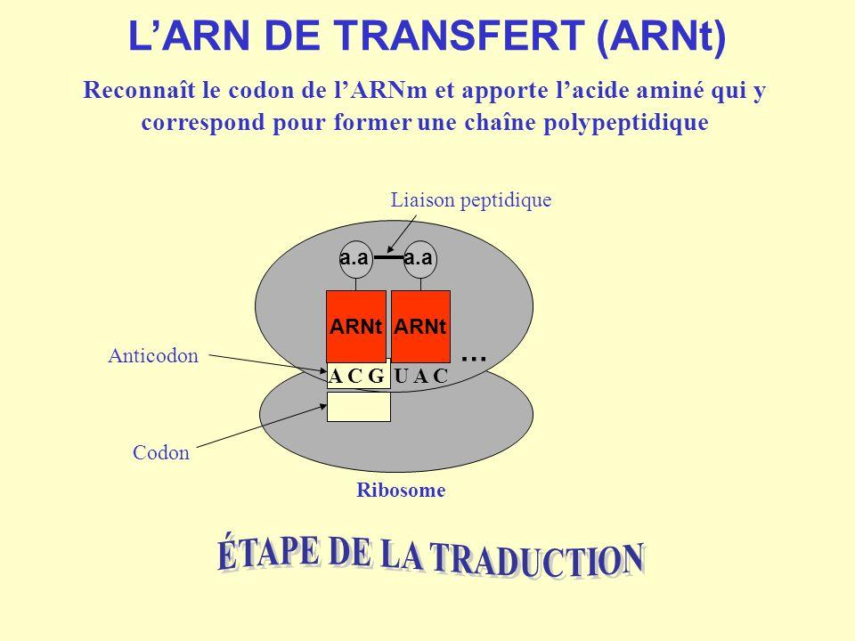 L'ARN DE TRANSFERT (ARNt)