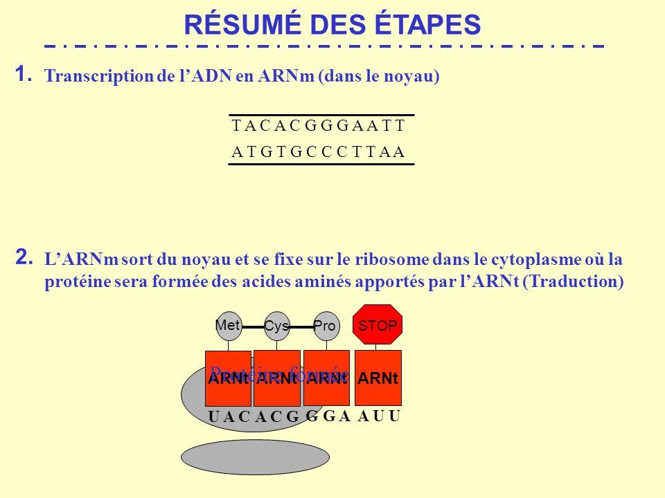 RÉSUMÉ DES ÉTAPES 1. 2. Protéine formée