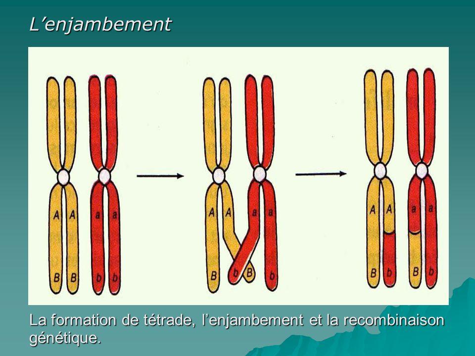 L'enjambement La formation de tétrade, l'enjambement et la recombinaison génétique.
