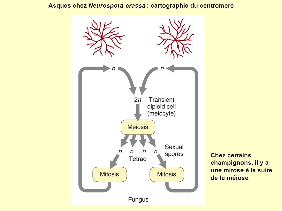Asques chez Neurospora crassa : cartographie du centromère
