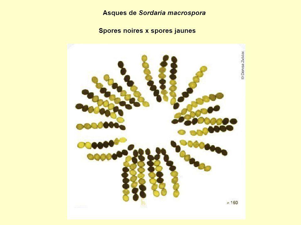 Asques de Sordaria macrospora