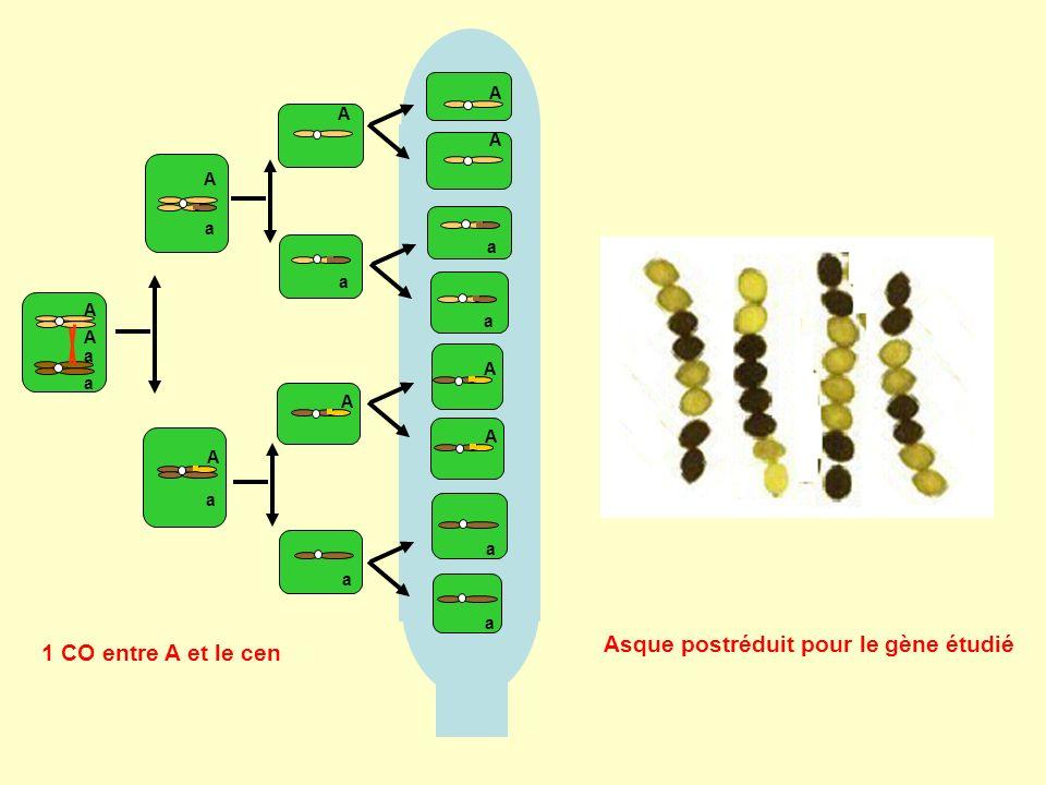 Asque postréduit pour le gène étudié 1 CO entre A et le cen