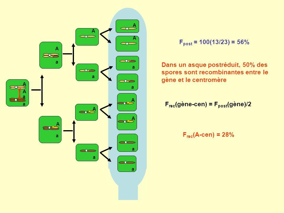 Frec(gène-cen) = Fpost(gène)/2