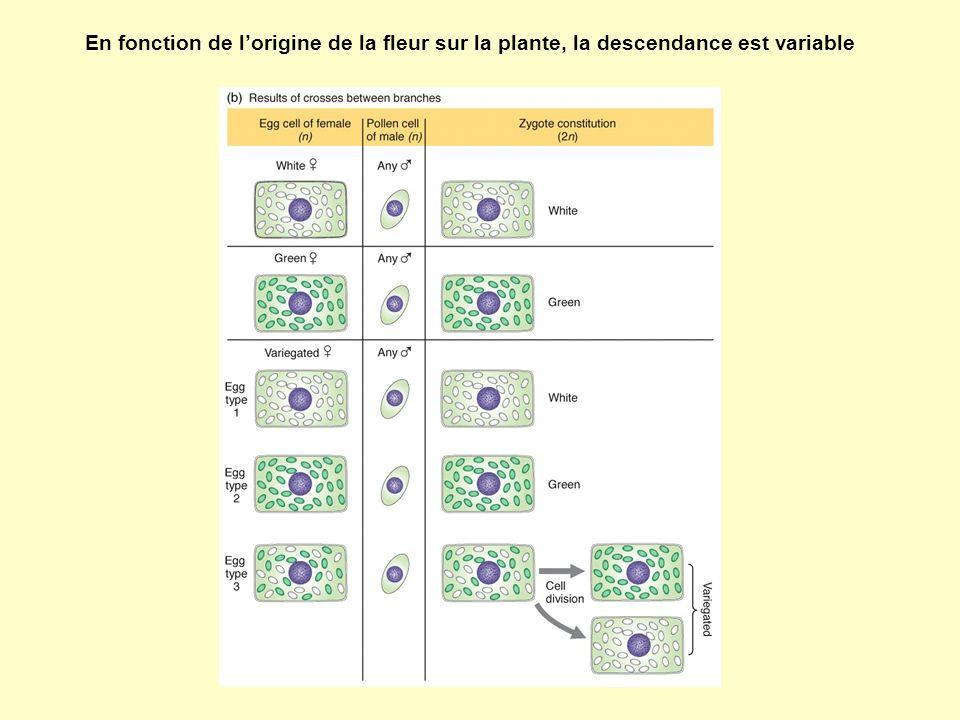 En fonction de l'origine de la fleur sur la plante, la descendance est variable