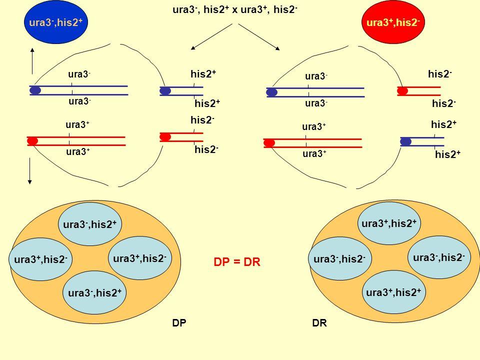 DP = DR ura3-,his2+ ura3-, his2+ x ura3+, his2- ura3+,his2- his2+