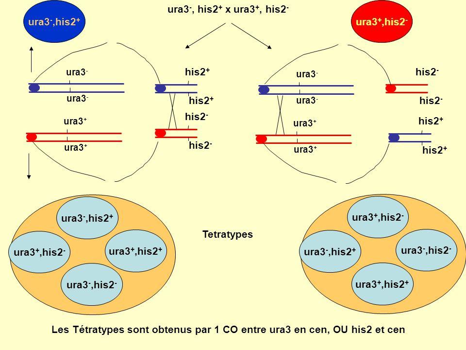 Les Tétratypes sont obtenus par 1 CO entre ura3 en cen, OU his2 et cen