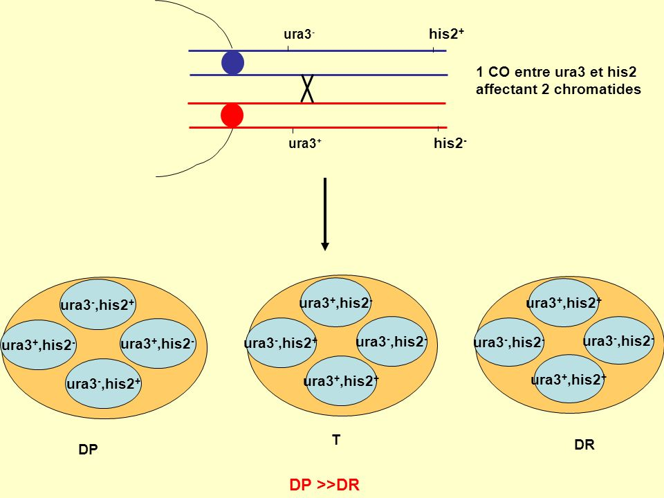 DP >>DR his2+ 1 CO entre ura3 et his2 affectant 2 chromatides