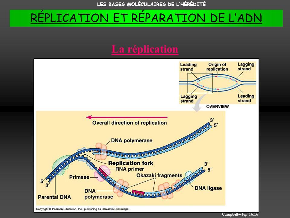 RÉPLICATION ET RÉPARATION DE L'ADN