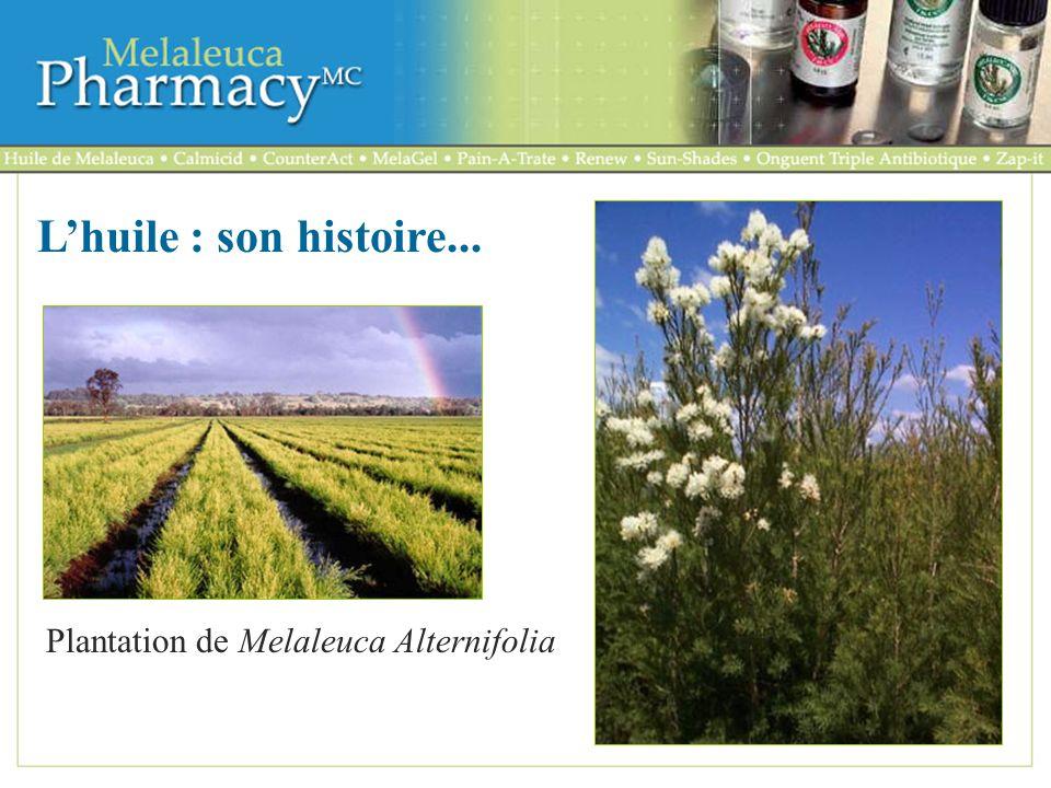 L'huile : son histoire... Plantation de Melaleuca Alternifolia