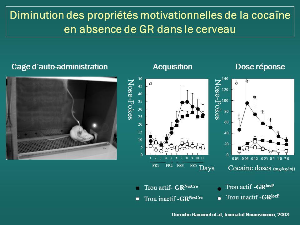 Diminution des propriétés motivationnelles de la cocaïne en absence de GR dans le cerveau