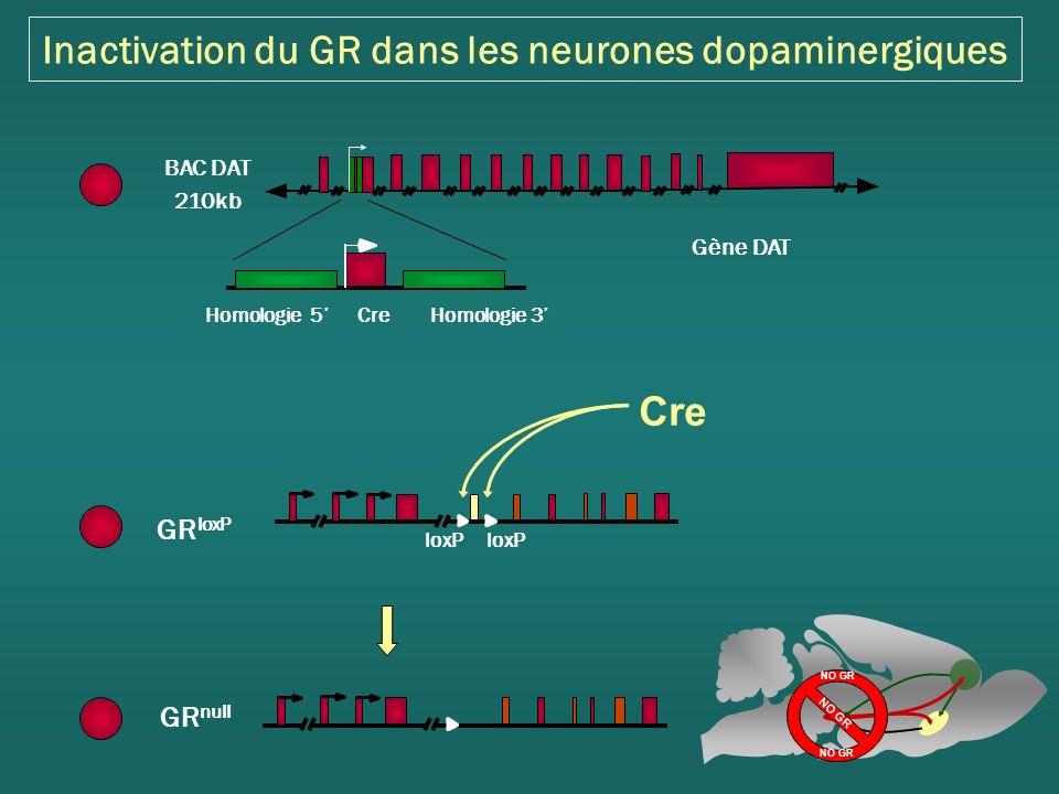 Inactivation du GR dans les neurones dopaminergiques