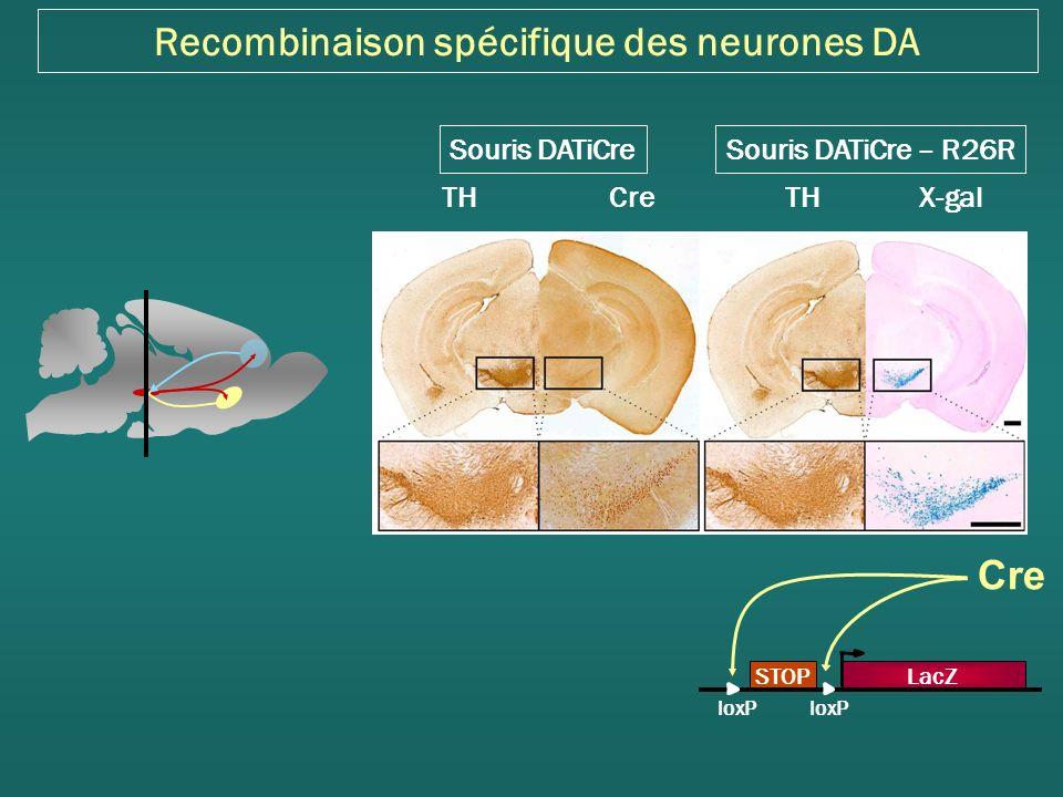 Recombinaison spécifique des neurones DA