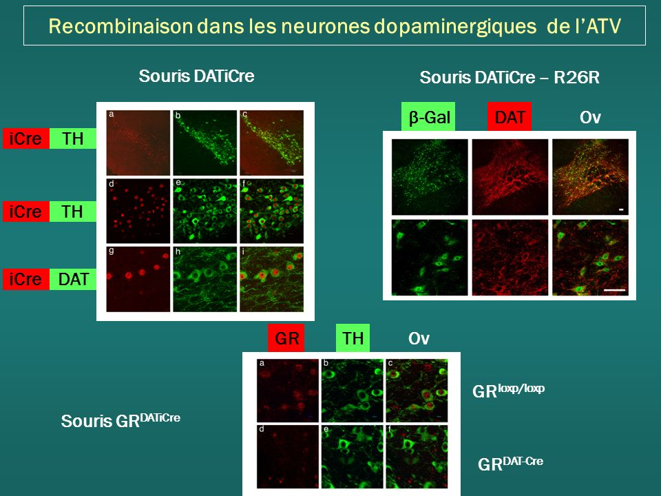 Recombinaison dans les neurones dopaminergiques de l'ATV