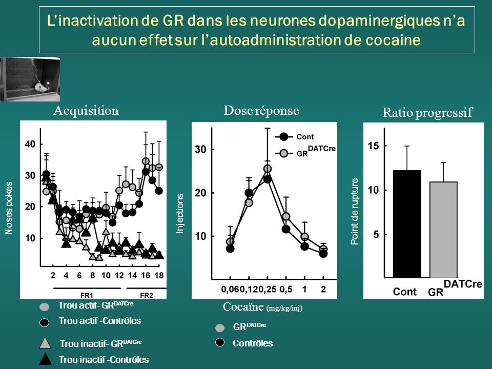 L'inactivation de GR dans les neurones dopaminergiques n'a aucun effet sur l'autoadministration de cocaine