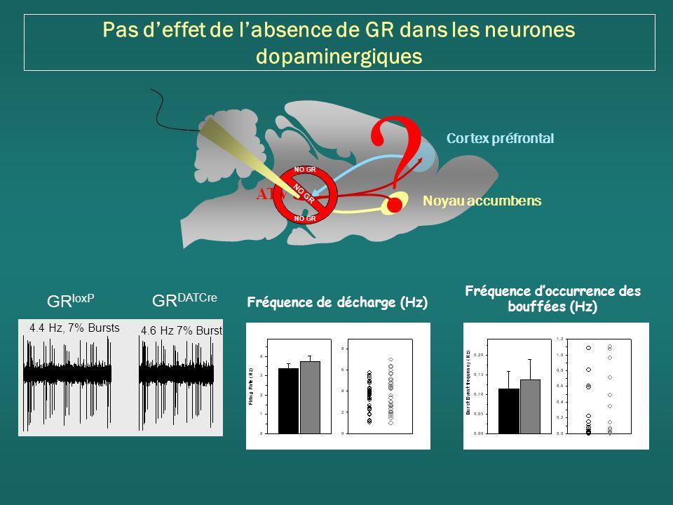 Pas d'effet de l'absence de GR dans les neurones dopaminergiques