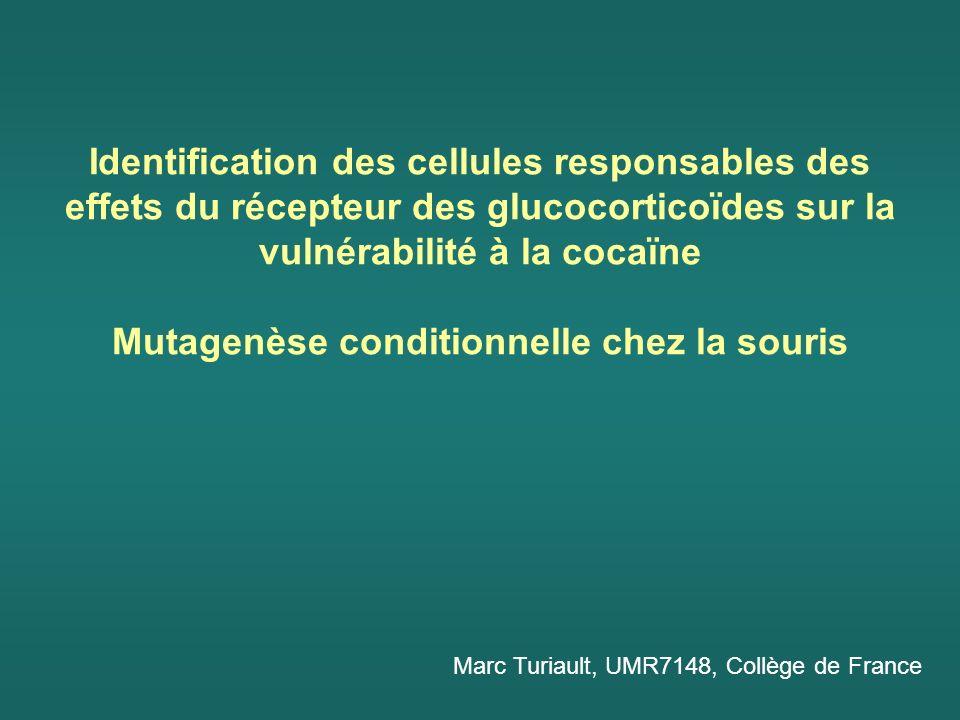 Identification des cellules responsables des effets du récepteur des glucocorticoïdes sur la vulnérabilité à la cocaïne Mutagenèse conditionnelle chez la souris