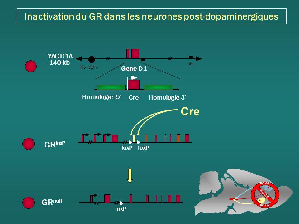 Inactivation du GR dans les neurones post-dopaminergiques