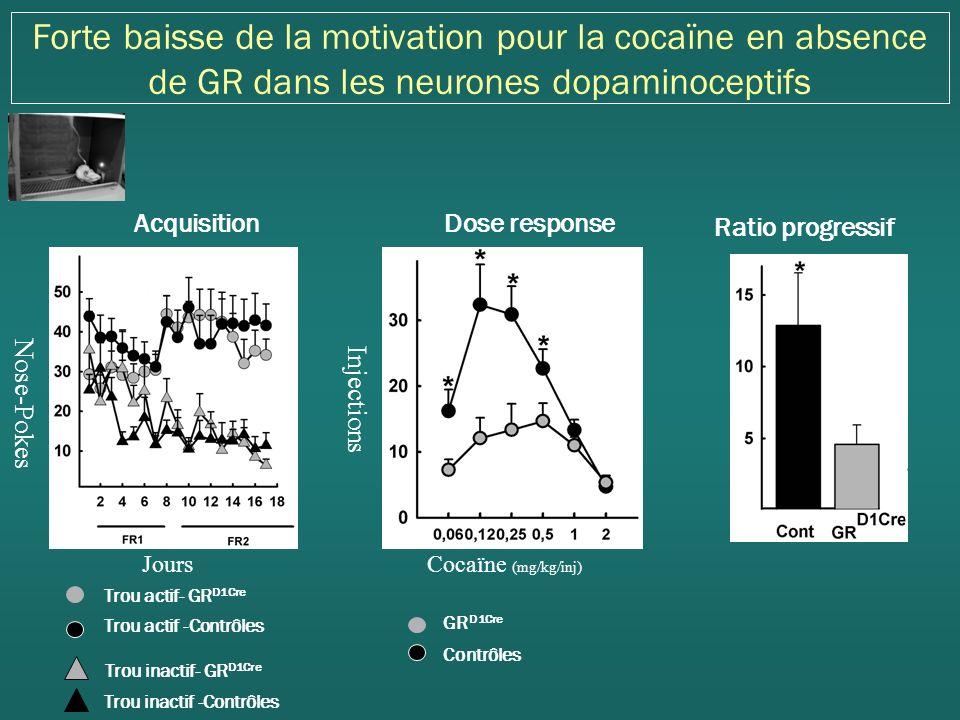 Forte baisse de la motivation pour la cocaïne en absence de GR dans les neurones dopaminoceptifs