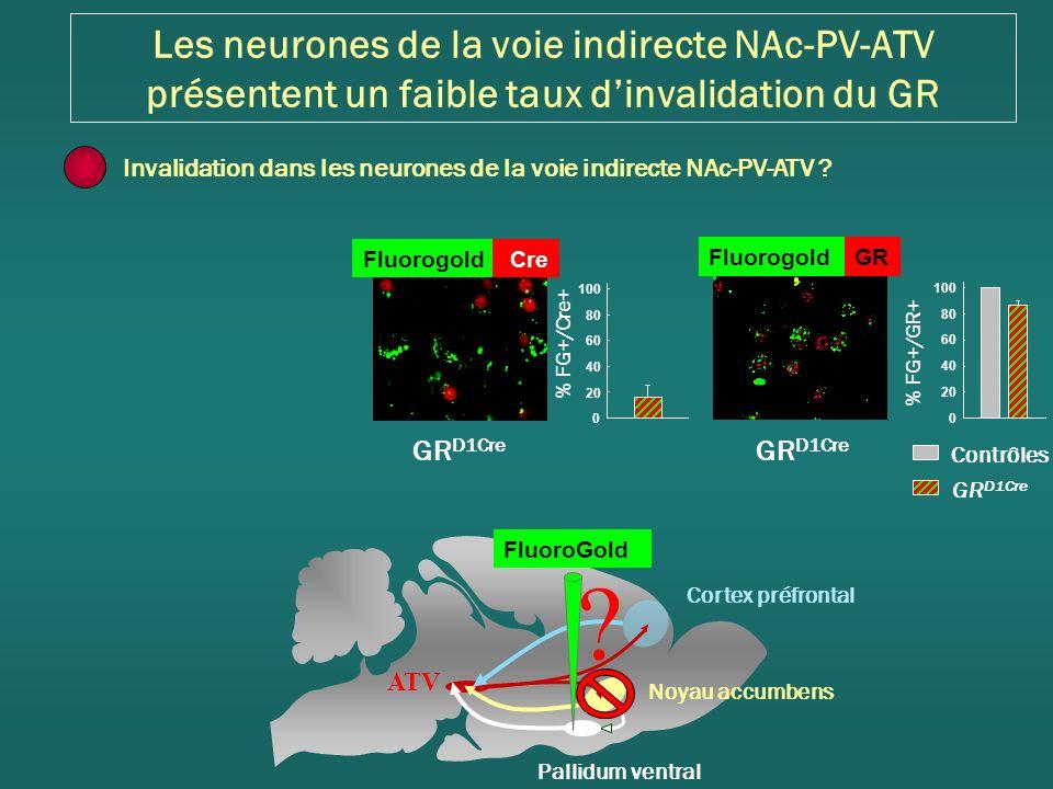 Les neurones de la voie indirecte NAc-PV-ATV présentent un faible taux d'invalidation du GR