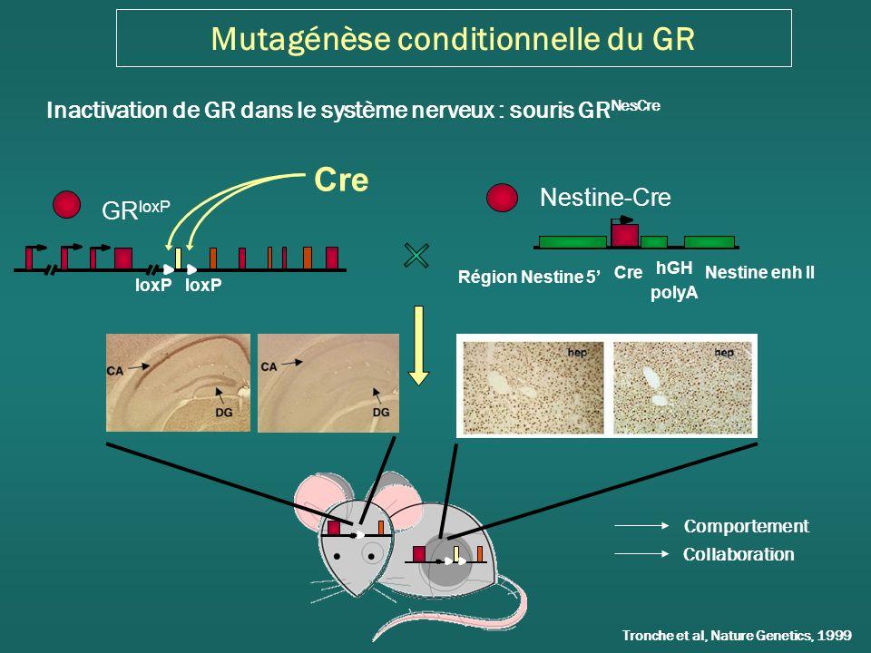 Mutagénèse conditionnelle du GR