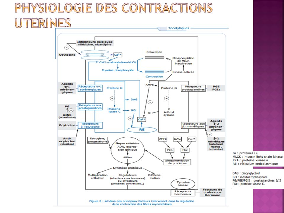 PHYSIOLOGIE DES CONTRACTIONS UTERINES