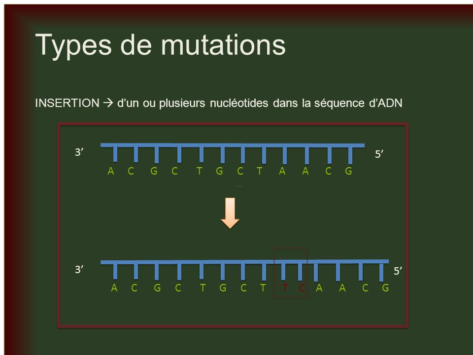 _ Types de mutations. INSERTION  d'un ou plusieurs nucléotides dans la séquence d'ADN. 3' 5'