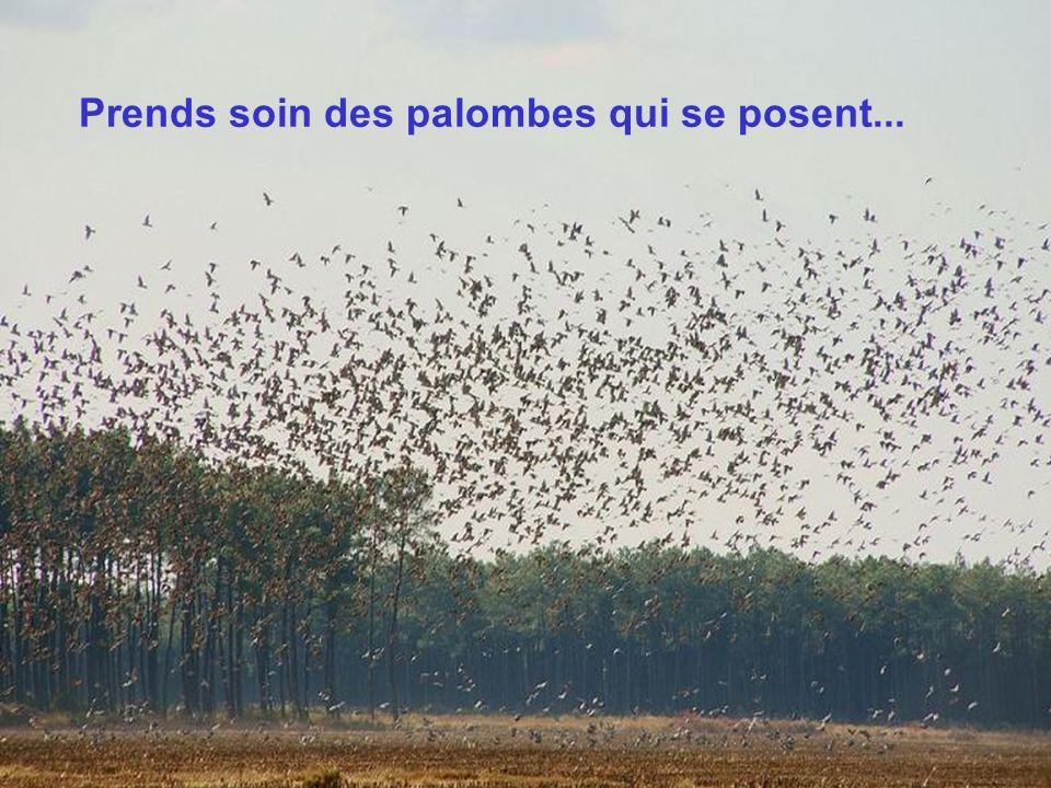 Prends soin des palombes qui se posent...