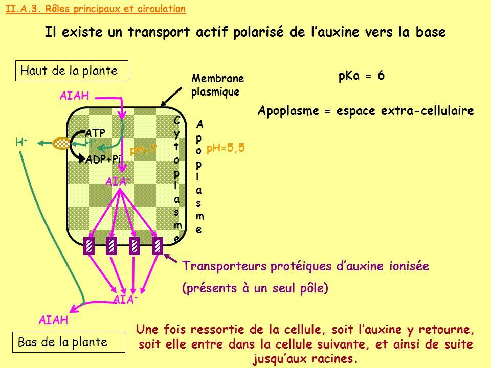 Il existe un transport actif polarisé de l'auxine vers la base