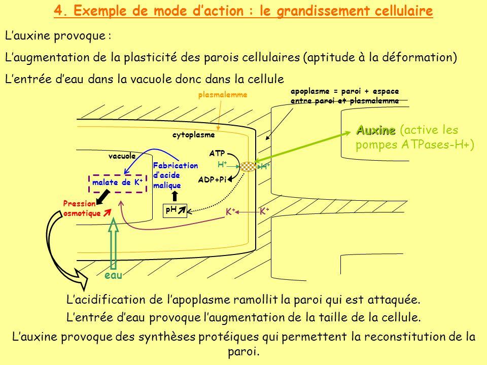 4. Exemple de mode d'action : le grandissement cellulaire