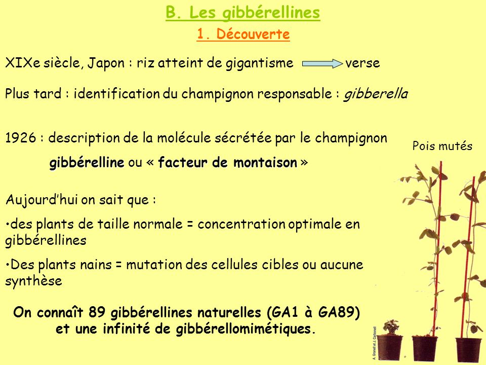 B. Les gibbérellines 1. Découverte