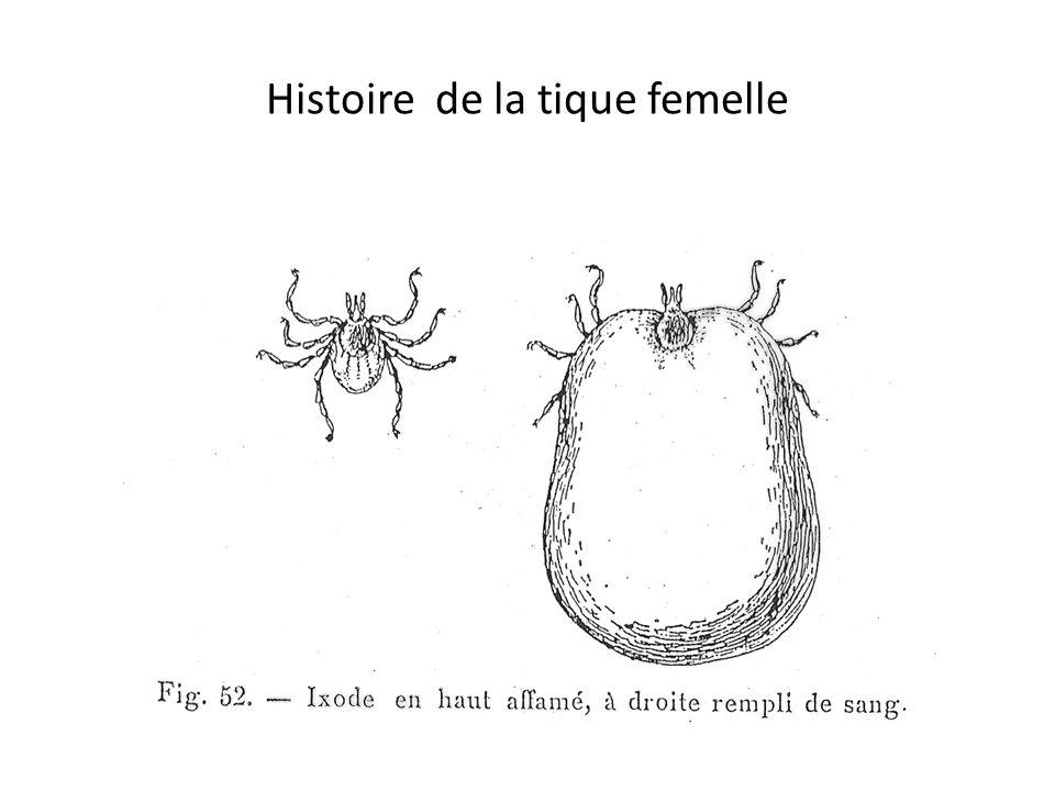 Histoire de la tique femelle