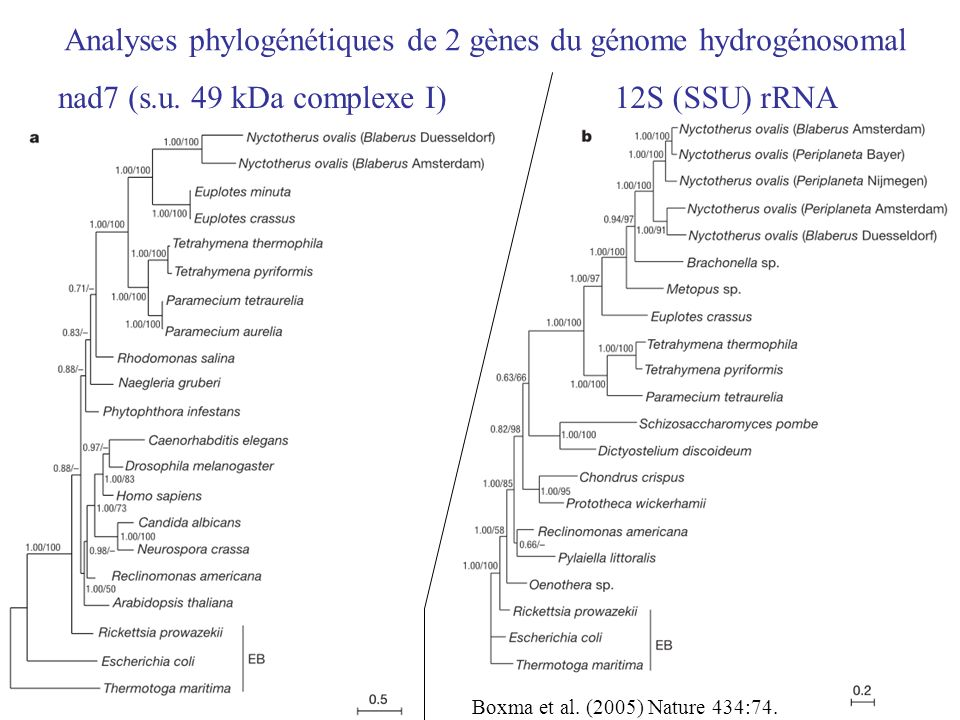 Analyses phylogénétiques de 2 gènes du génome hydrogénosomal