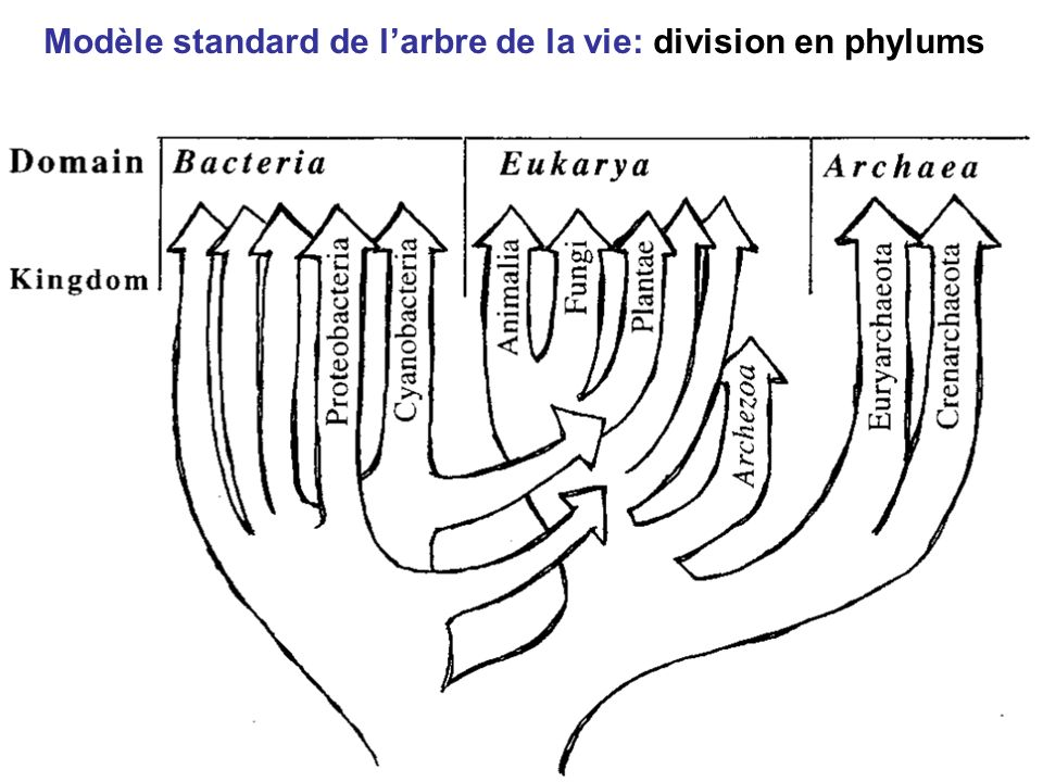 Modèle standard de l'arbre de la vie: division en phylums