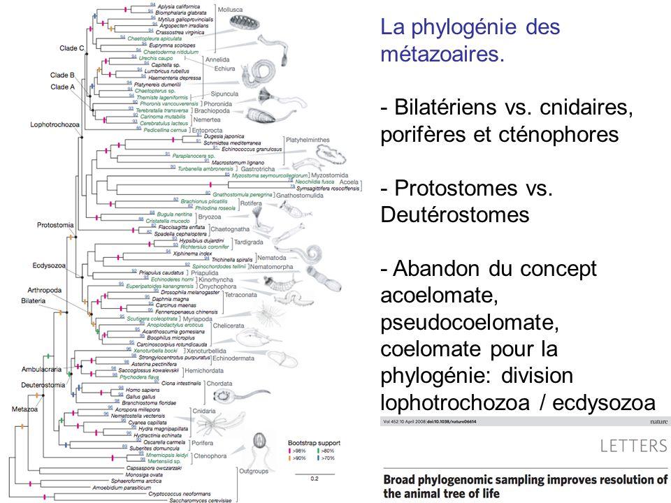La phylogénie des métazoaires.